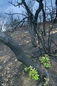 Fresh green oak leaves sprout from trunks of oaks burned 6 weeks before in the Bircher Fire at Mesa Verde National Park, Colorado, AGPix_0933