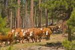 Cattle are turned out on grazing allotments on ranch operated by The Grand Canyon Trust near Dry Park in the North Kaibab National Forest, Arizona, AGPix_0934
