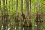 Bald Cypress tress in wetland along shore of White River at White River National Wildlife Refuge, near St. Charles, Arkansas, AGPix_0972