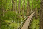 Hiker on boardwalk at Tupelo-Baldcypress Swamp at Natchez Trace Parkway, near Canton, Mississippi, AGPix_0980
