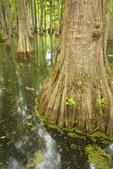 Tupelo-Baldcypress Swamp at Natchez Trace Parkway, near Canton, Mississippi, AGPix_0981