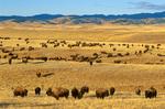 Buffalo herd roams prairie with Black Hills, Paha Sapa, in background, Tripple 7 Ranch, near Fairburn, South Dakota,AGPix_1014