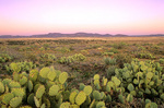 Cactus amid semi-desert grassland vegetation on Perry Mesa in Agua Fria National Monument, Arizona, AGPix_1024