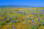 Spring wildflowers, lupine, poppies and goldfields bloom on Carrizo Plains with Temblor Range in back, Carrizo Plain National Monument, west of Bakersfield, California, AGPix_1036