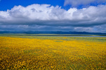 Spring wildflowers, Coreopsis, bloom near Soda Dry Lake with Temblor Range in back, Carrizo Plain National Monument, west of Bakersfield, California, AGPix_1037