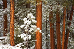 Snowy forest of Ponderosa Pines and Douglas Fir in Fay Canyon area of Coconino National Forest, Flagstaff, Arizona, AGPix_1044    