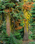 Lichen covered tree trunks in old growth forest at Juniper Lake, Lassen Volcanic National Park, California, CA_01593, AGPix_1053