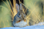 Cottontail rabbit cleaning its paws, winter day near Flagstaff, Arizona, AGPix_1056, AZ_30665