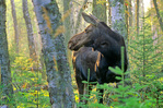 Cow moose in forest at Rock Harbor in Isle Royale National Park, Michigan, MI_10385, AGPix_1069
