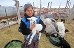 Lorraine Herder holding a lamb inside her corral with a flock of Navajo-churro sheep at her home near Hardrock, Navajo Nation, Arizona, AGPix_1103