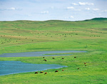 Cattle graze beside prairie ponds in the Sand Hills of Grant County, near Hyannis, Nebraska, AGPix_1132