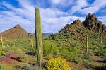 Sonoran Desert vegetation of Saguaro cactus and Brittlebush at Organ Pipe Cactus National Monument, Arizona, AGPix_1146