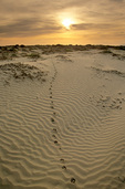 Coyote tracks in sand dunes along Pacific coast on Isla Magdalena, sunrise on a barrier island between Magdalena Bay and ocean, Baja California Sur, Mexico, AGPix_1188