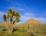 Joshua Tree Natural Area in the Beaver Dam Mountains, on BLM lands in southwest Utah, AGPix_1221