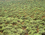Sagebrush, Artemisia tridentata, covers landscape on B.L.M. lands in West Desert area, near Milford, Utah, AGPix_1226