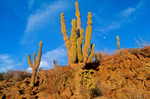 Cardon cactus growing on shore of Espiritu Santo, an island in Sea of Cortez near La Paz, Baja California, Mexico, AGPix_1250