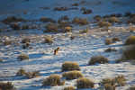 Coyote hunting in a snowy meadow, on winter afternoon at Bean North Ranch Home, Flagstaff, Arizona, AGPix_1251