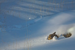 Cottontail rabbit amid snowy winter landscape, Flagstaff, Arizona, AGPix_1252