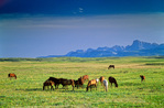 Horses graze in grassland with Rocky Mountains rising above the Great Plains in Pondera County, west of Dupuyer, Montana, AGPix_1260