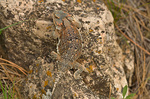Greater Short-horned Lizard, Phrynosoma hernandesi, in ponderosa pine forest above Fay Canyon in Coconino National Forest, Flagstaff, Arizona, AGPix_1276