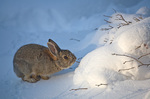 Cottontail Rabbit in snow, nibbling on threeleaf sumac, winter in Flagstaff Arizona, AGPix_1278