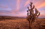 Joshua tree below the Grand Wash Cliffs at sunset, Mohave Desert area of Grand Canyon-Parashant National Monument, Arizona, AGPix_1288