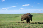 Bull bison stands alone on the prairie at Theodore Roosevelt National Park, North Dakota, AGPix_1291