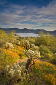 Spring wildflowers bloom in the desert amid cholla cactus on hillside above Bartlett Reservoir, Tonto National Forest, east of Carefree, Arizona,  AGPix_1296