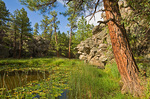 Ponderosa pine beside pool at Pomeroy Tanks in Kaibab National Forest, east of Williams, Arizona, AGPix_1299