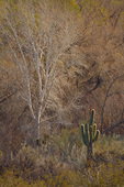 Saguaro cactus stands at edge of  cottonwood-willow forest, winter at Bill Williams River National Wildlife Refuge near Parker, Arizona, AGPix_1308