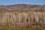 Cottonwood-willow forest in winter amid arid desert hillsides at Bill Williams River National Wildlife Refuge near Parker, Arizona, AGPix_1309