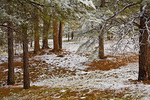 Late Spring snowstorm on May 24th, covers ponderosa pine forest in Fay Canyon area of Coconino National Forest, Flagstaff, Arizona, AGPix_1313