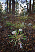 Tufted Evening Primrose, Oenothera caespitosa, flowers in early morning during summer monsoon season in ponderosa pine forest, Fay Canyon area of Coconino National Forest, Flagstaff, Arizona, AGPix_1316