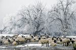 Frost covers sheep and trees on cold winter morning, Levan, Utah,  AGPix_1344