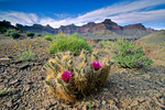 Hedgehog cactus in flower along the Tonto Trail near Hermit Canyon in Grand Canyon National Park, Arizona,  AGPix_1346