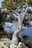 Utah Juniper tree growing along South Rim at Maricopa Point at Grand Canyon National Park, Arizona, AGPix_1347