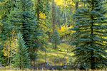 North Rim forest of spruce, fir, and aspen near Rober's Roost at Grand Canyon National Park, Arizona, AGPix_1367