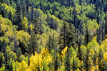 Autumn colors of aspen trees with ponderosa pines and Douglas Firs, forest on North Rim of Grand Canyon National Park, Arizona, AGPix_1369