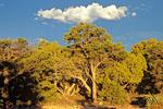 Pinyon-juniper woodland on South Rim of Grand Canyon National Park, Arizona, AGPix_1373