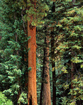 Mixed conifer forest of Ponderosa Pine, Douglas Fir and Spruce on North Rim of Grand Canyon National Park, Arizona, AGPix_1374