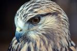Face of Rough-legged Hawk, Buteo lagopus, at Arizona-Sonoran Desert Museum at Tucson, Arizona, AGPix_1380