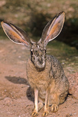 Blacktail jackrabbit, Lepus californicus, at Phoenix Zoo, Phoenix, Arizona, AGPix_1382