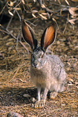 Blacktail Jackrabbit, Lepus californicus, displays its large ears, Phoenix, Arizona, AGPix_1383