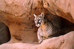 Mountain lion, Felis concolor, under rocky ledge at Phoenix Zoo, in Phoenix, Arizona, AGPix_1384