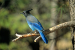 Steller's Jay, Cyanocitta stelleri, in ponderosa pine tree, Coconino National Forest, Arizona, AGPix_1385