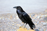 Common Raven, Corvus corax, at Death Valley National Park, California, AGPix_1390