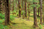 Temperate rainforest of sitka spruce and western hemlock trees growing near Bartlett Cove in Glacier Bay National Park, Alaska, AgPix_1401