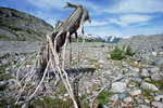 Interstadial tree amid deglaciated landscape in Muir Inlet, ancient tree once buried by advancing glacier now exposed by melting glacier ice in Glacier Bay National Park, Alaska, AgPix_1405