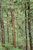 Forest of ponderosa pine trees in Little Spearfish Canyon, Black Hills National Forest, South Dakota, AgPix_1419