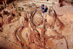 Mammoth skeleton, 26,000 years old, excavated at The Mammoth Site at Hot Springs, South Dakota, AgPix_1421